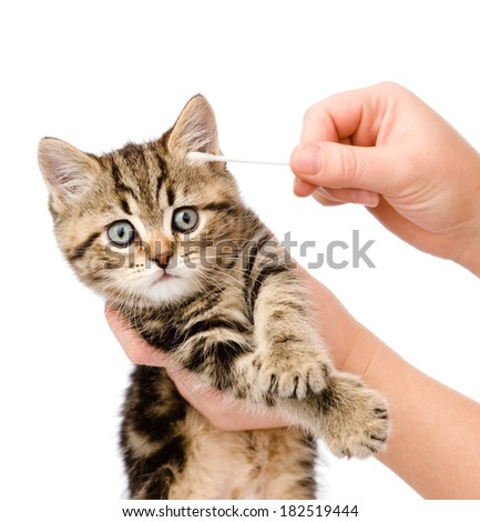 Veterinarian cleans ears to a small kitten. isolated on white background - stock photo