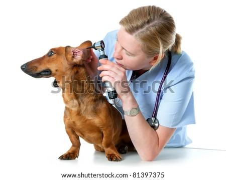 veterinarian doctor making check-up of a dachshund - stock photo