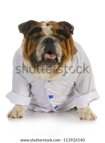 veterinarian - english bulldog dressed up like a vet with reflection on white background - stock photo