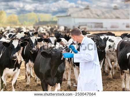 veterinarian examines the animal on the ranch cows - stock photo