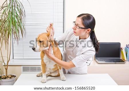Veterinarian examines the dog's ears of breed beagle - stock photo