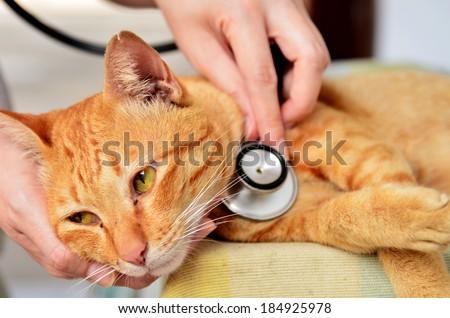 Veterinarian examining a kitten in animal hospital - stock photo