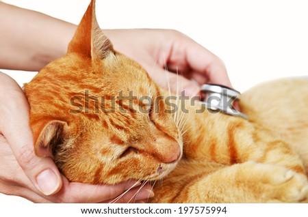 Veterinarian examining a kitten isolate on white background - stock photo
