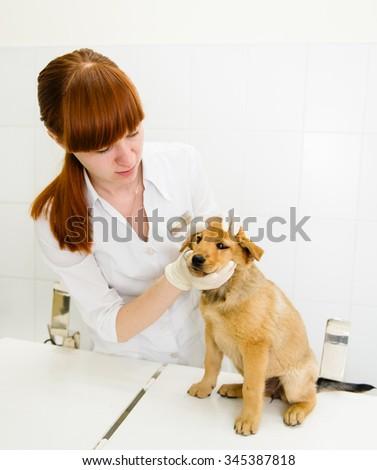 veterinarian examining puppy eyes in the clinic - stock photo