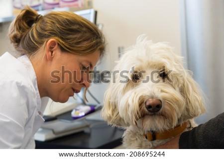 Veterinarian examining white dog - stock photo