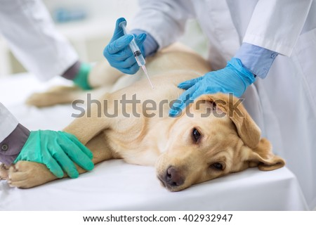 Veterinarian giving injection to a  sick dog