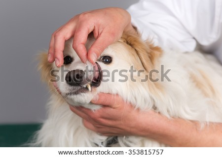 Veterinarian hands checking a dog's teeth