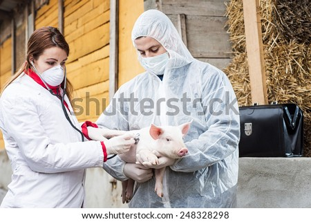 Veterinarian holding a pig while nurse giving the vaccine. - stock photo