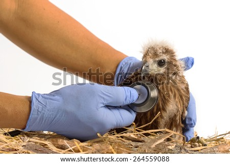 veterinarian holding and checkup young Red-backed Sea-eagle with stethoscope - stock photo