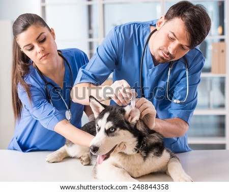 Veterinarian is dripping drops to the dog's ears in clinic.