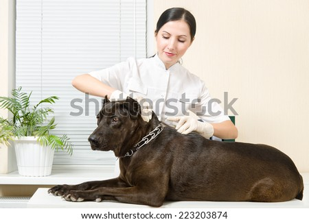 Veterinarian makes an injection dog breed Staffordshire Terrier - stock photo
