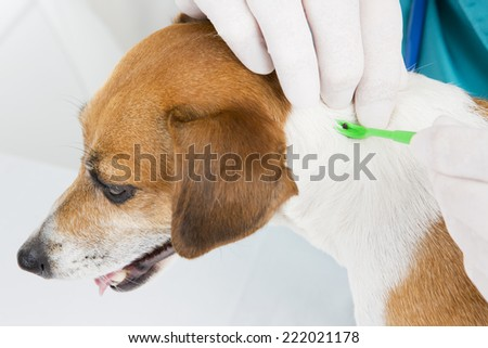 Veterinarian parasite mite removes of the dog's skin - stock photo