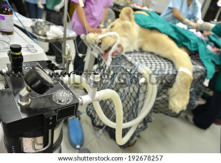 Veterinarian performing an operation on a lion in the operating room
