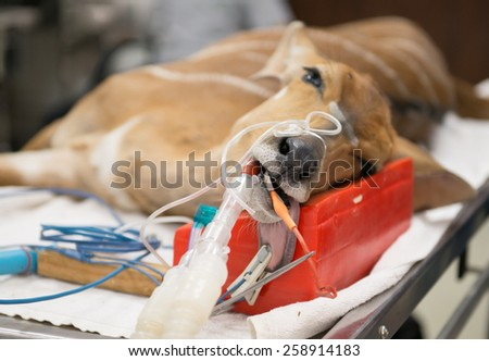 Veterinarian performing an operation on a nyala in the operating room