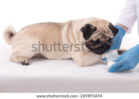 veterinarian putting bandage on paw of pug dog - stock photo