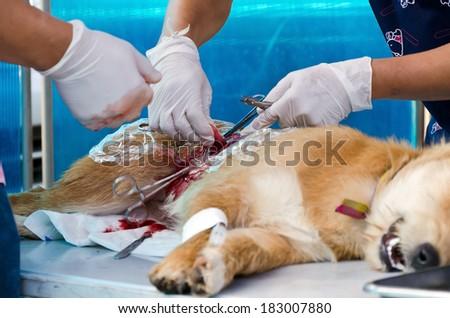 veterinarian sterilization operation on dog, - stock photo