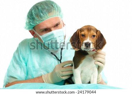 Veterinarian surgeon doctor making a checkup of a beagle puppy dog