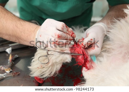 Veterinarian surgery, fixing of wounded dog leg