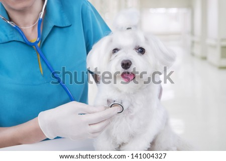 veterinarian woman in blue medical uniform examines with stethoscope  small cute white Maltese puppy