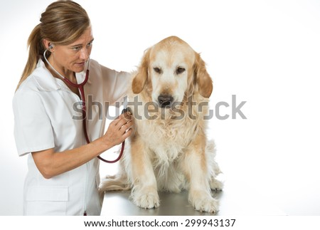 Veterinary by listening to a Golden Retriever dog in his clinic