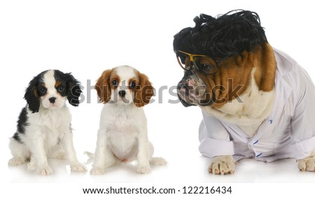 veterinary care - english bulldog doctor taking care of two cavalier king charles spaniel puppy patients on white background - stock photo