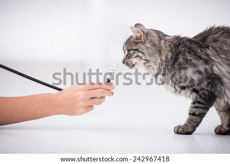 Veterinary clinic. Cute cat sniffs stethoscope during examination by a veterinarian. - stock photo