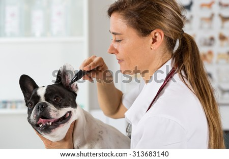 Veterinary clinic with a French bulldog reviewing ears - stock photo