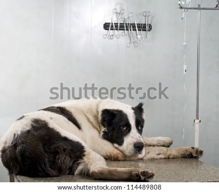Veterinary doctor of doing an injection of dog - stock photo