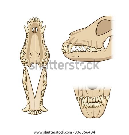 Veterinary educational science raster illustration teeth of the dog. Veterinary medicine educational material - stock photo
