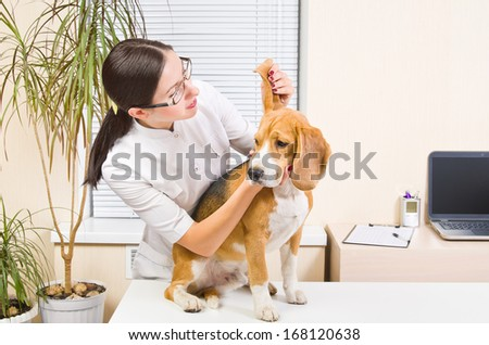 Veterinary examines the dog's ears of breed beagle - stock photo