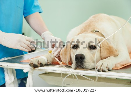 veterinary giving the vaccine to the ivory labrador dog