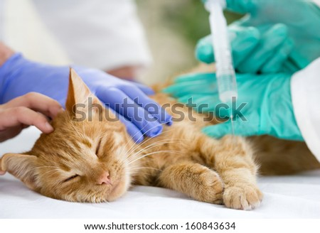 veterinary giving the vaccine to the little cat  - stock photo