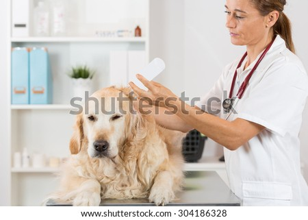 Veterinary hearing performing cleaning a dog Golden Retriever - stock photo