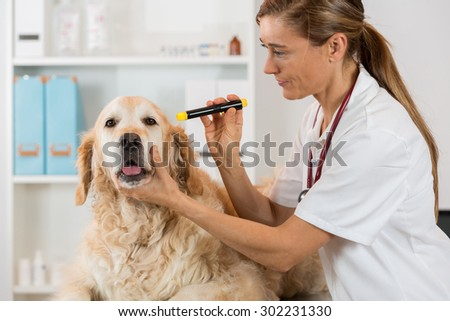Veterinary inspecting the eyes of a dog Golden Retriever  in clinic - stock photo