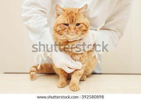 Veterinary Nurse Examining sick red cat In Surgery. - stock photo