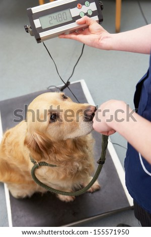 Veterinary Nurse Weighing Dog In Surgery - stock photo