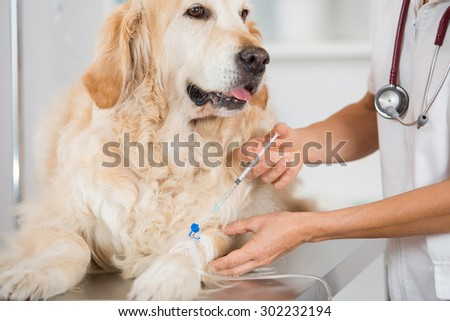 Veterinary placing a catheter via a Golden Retriever in the clinic - stock photo
