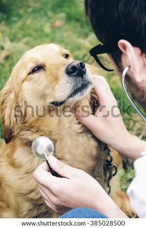 Veterinary placing a catheter via a Golden Retriever shallow dof - stock photo