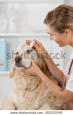 Veterinary placing a few drops of eye drops dog Golden Retriever - stock photo