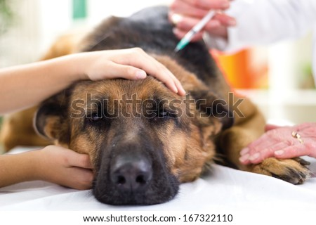 veterinary surgeon is giving the vaccine to the dog German Shepherd,fokus on injection - stock photo