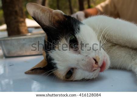 Veterinary surgeon neutering a cat - stock photo