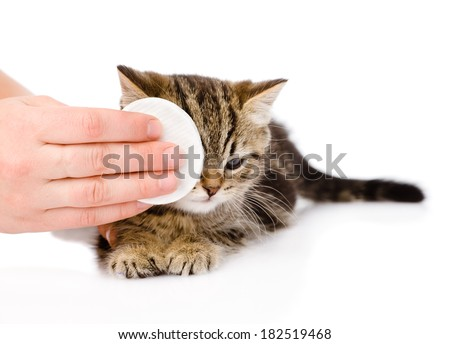 veterinary surgeon wipes eyes to a cat. isolated on white background - stock photo