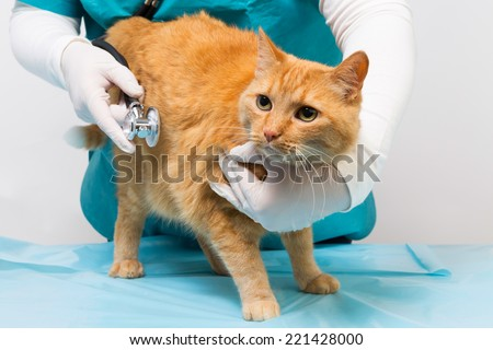 veterinary with stethoscope holding a red tiger cat an listen - stock photo