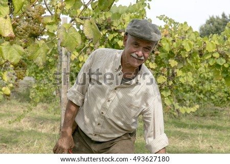 Viana do Castelo, Portugal - September 24, 2016: A team of people harvesting white grapes for the wine cooperative of Viana do Castelo, Portugal