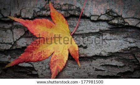 Vibrant autumn leaf resting against a wooden bark shingle - stock photo