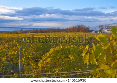Vibrant autumn vineyard in sunlight with blue sky