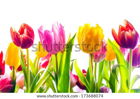 Vibrant background of colourful spring tulips in red, yellow and pink with their fresh green leaves isolated on a white background