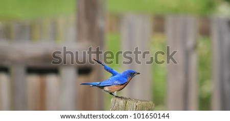 Vibrant Bluebird watching over the nest - stock photo