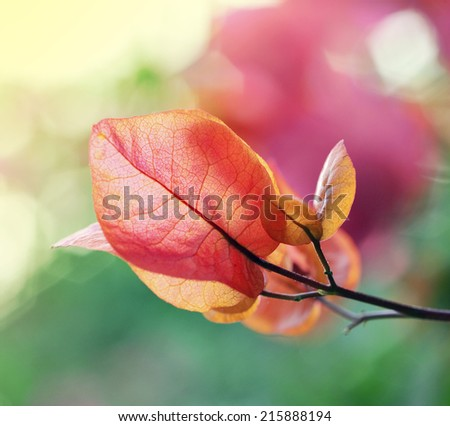 Vibrant bougainvillaea flower in beautiful light - stock photo