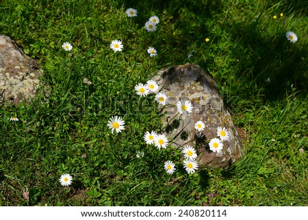 Vibrant camomile flowers in natural habitat  - stock photo